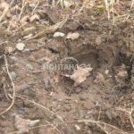 Крави тъпкат зеленчукови крадини в Меляне