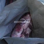 Акция! Удариха бракониери на риба в Монтана