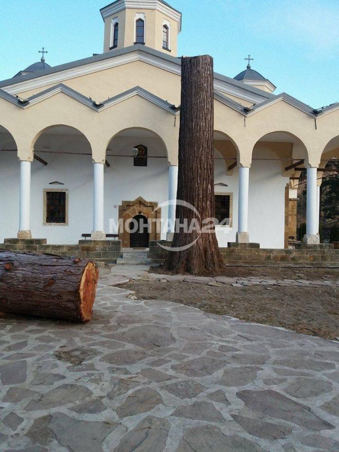 Отсякоха гигантската секвоя в Лопушанския манастир