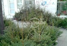 50 000 елхички за Коледа предлагат горските