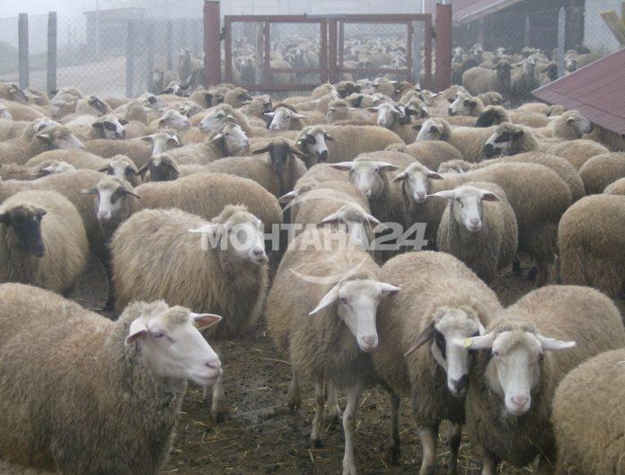 Крадци задигнаха овце на дядо от Септемврийци