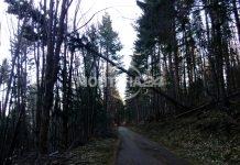 Опасно дърво по пътя за връх Ком