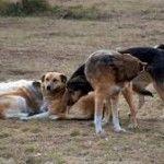 Глутници подивели кучета върлуват в област Монтана