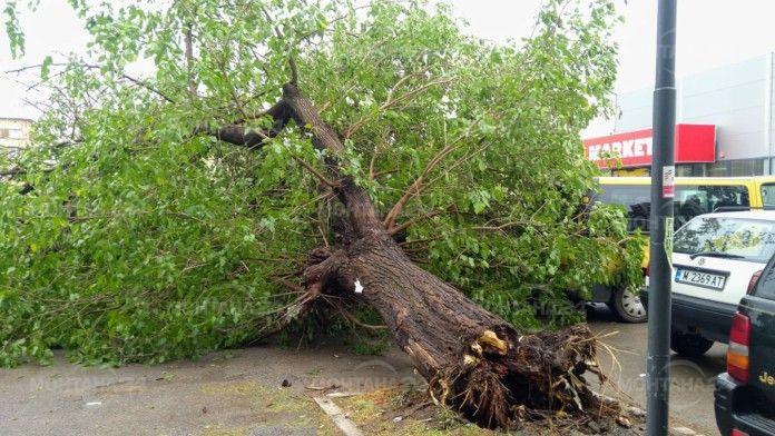Силна буря в Лом изкорени дърво