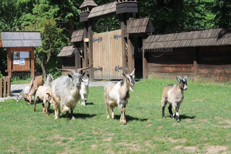 Зверство! Кучета разкъсаха жива коза в Мездрея