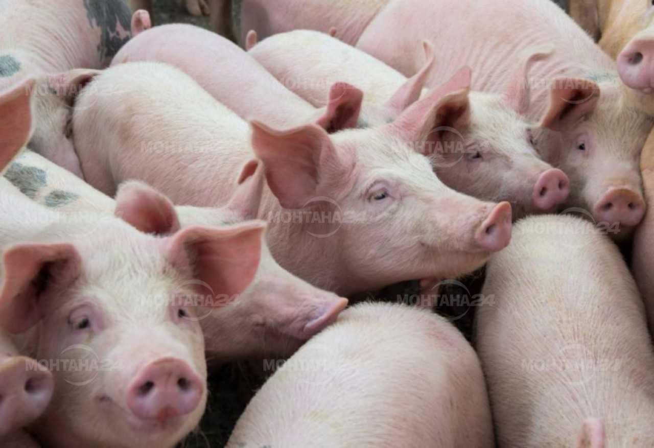 Внимание! В региона бият тревога заради чумата по свинете