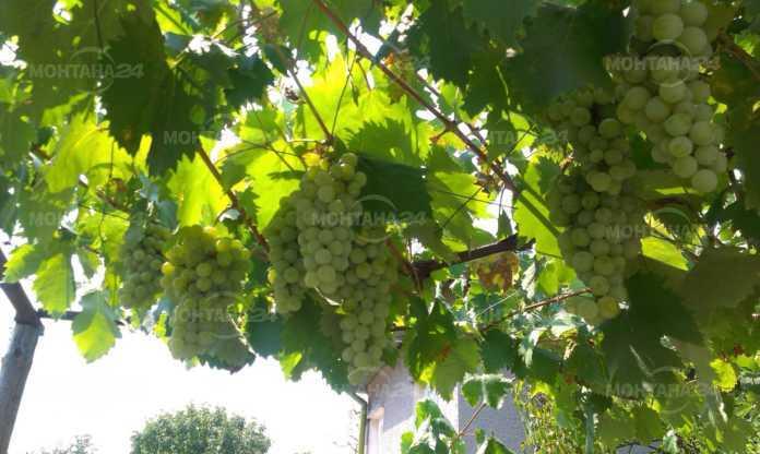 Крадец обра 100 кг грозде от асма, взе си и чаши за вино