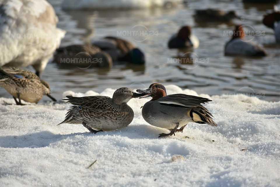 Експерти на РИОСВ – Монтана ще преброяват зимуващите водолюбиви птици