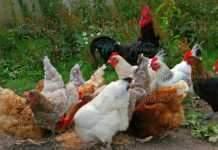Започна изплащането на субсидиите за хуманно отношение към птиците
