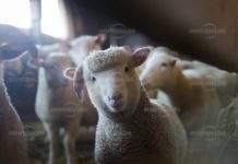 Срутил се обор уби половин стадо овце