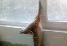 Лисица влезе в блок, но попадна в неочакван капан