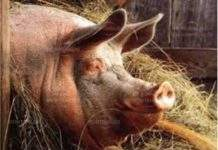 Тревога! Чумата по свинете е вече в съседната област