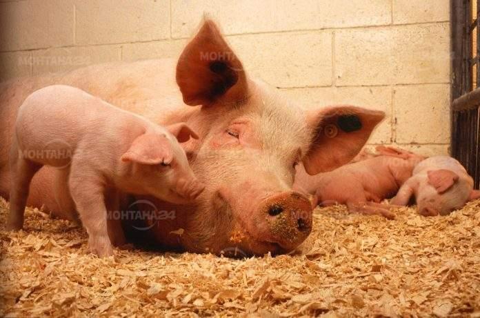Еднократната помощ заради чумата по прасетата ще се изплаща след първи септември