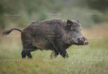 Въвеждат строги мерки заради новия ловен сезон за местен дребен и едър дивеч